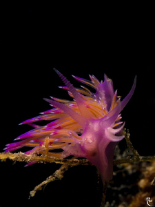 &quot;Flabellina Afinis&quot; Nudi :-) by Rico Besserdich 